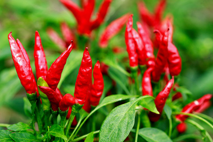 hot-chili-peppers-wp