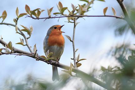 birdsong-boost-energy-wp