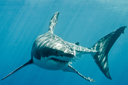 shark-wp