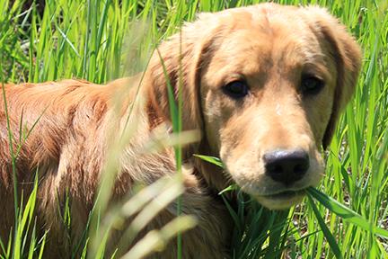 dog-eat-grass-wp