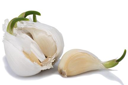 sprouting-garlic-wp