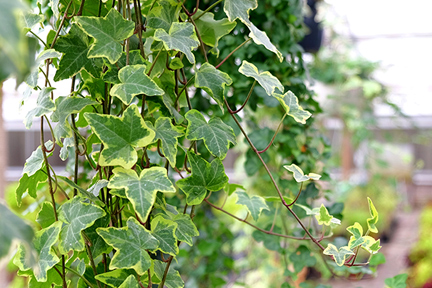 english-ivy-wp