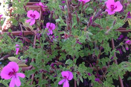 Cinnamon-scented-geranium-plant2-wp